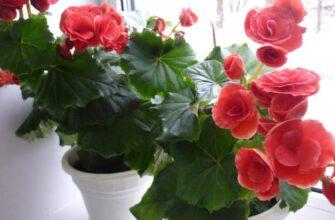 цвети бегонии на подоконнике