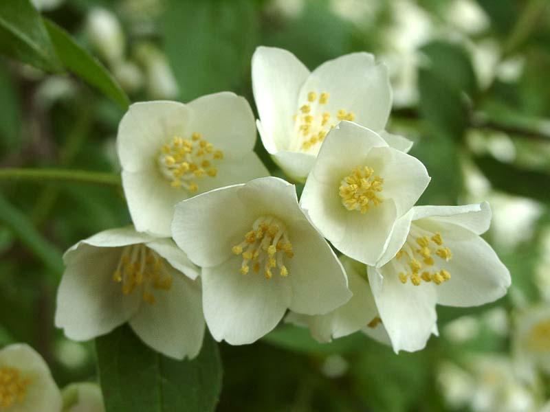 цветение жасминового куста