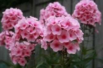 гейхера и ее цветение