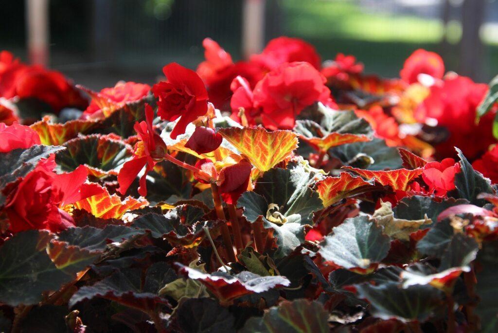 цветок бегонии осенью