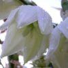 цветущая юкка