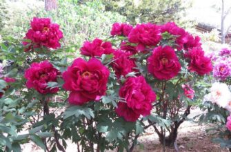 цветение древесного пиона