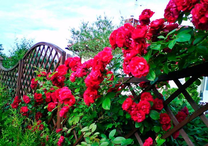 цветущая гейхера на участке