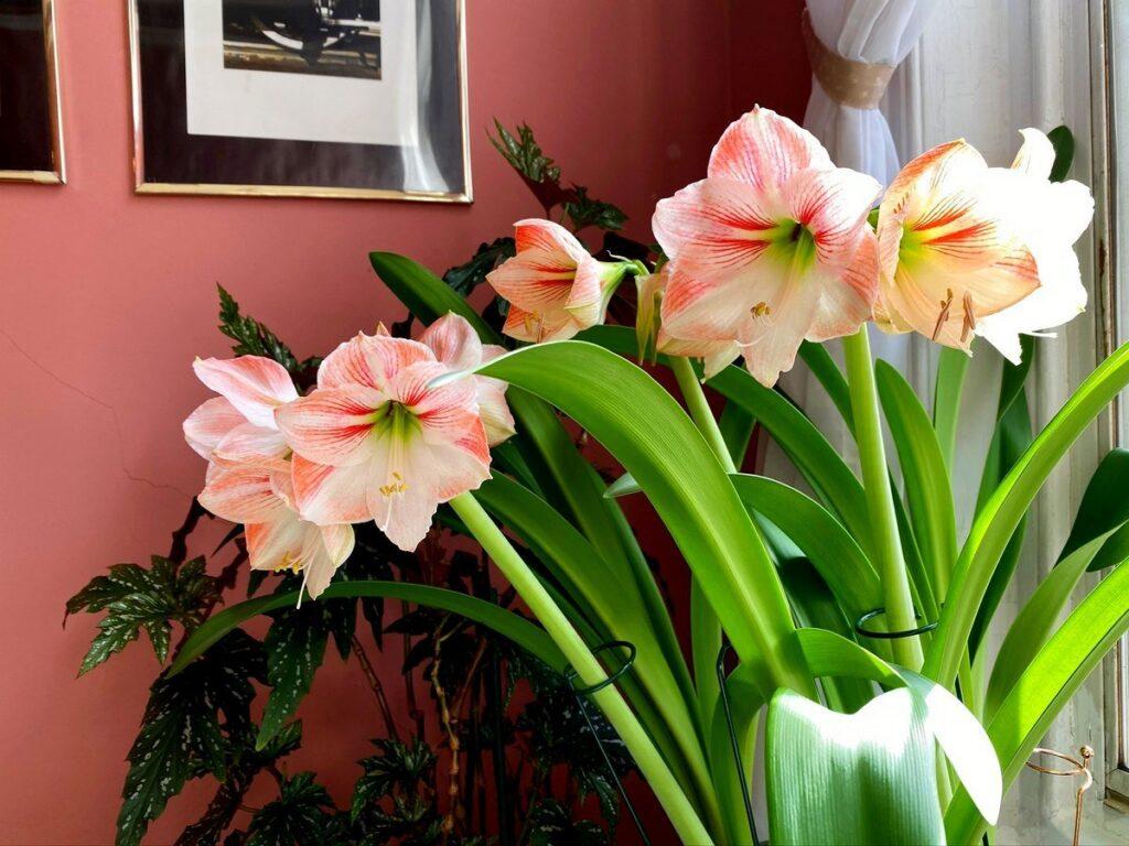 гиппеаструм в момент цветения