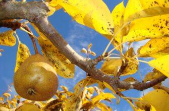 созревший урожай груш на дереве