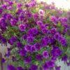 цветущий куст калибрахоа