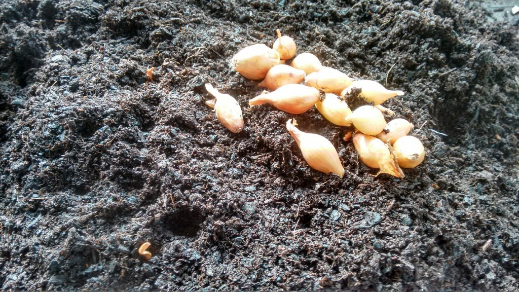 лук выбранный для посева