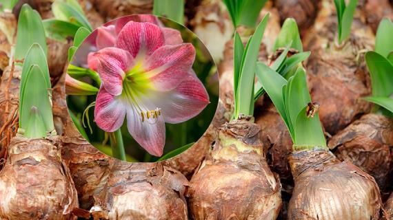 гиппеаструм и его луковицы