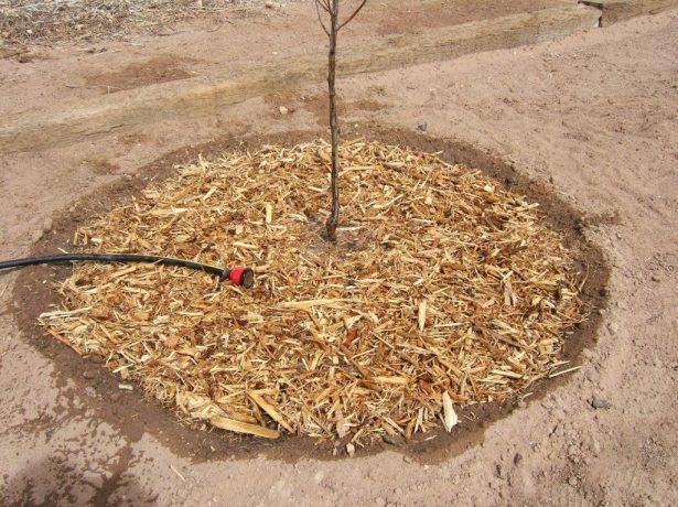защита сливового дерева