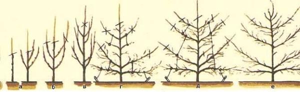 уход за грушей осенью и ее обрезка