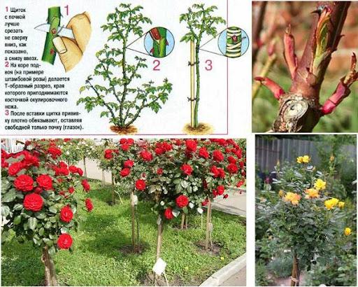 правила обрезки штамбовых роз