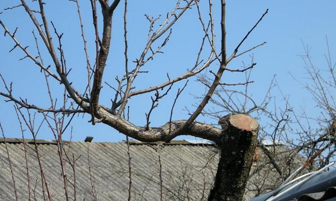 процесс обрезки сливового дерева
