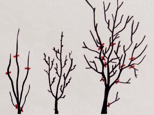 уход за сливой осенью и обрезка сливового дерева