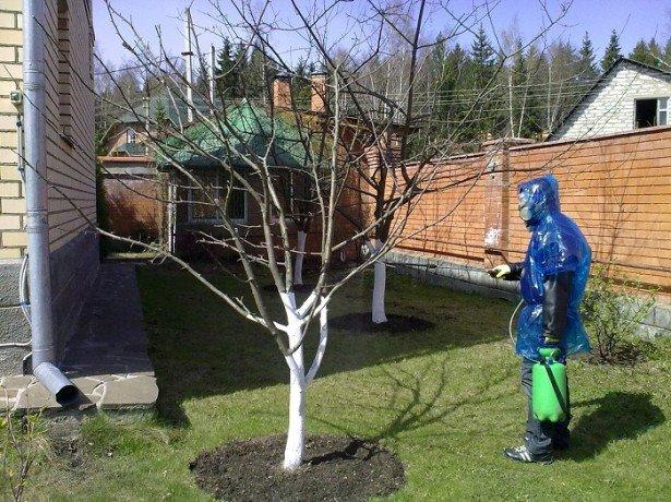 опрыскивание грушевого дерева
