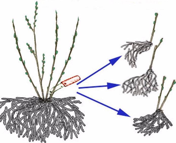 размножение пузыреплодника делением куста