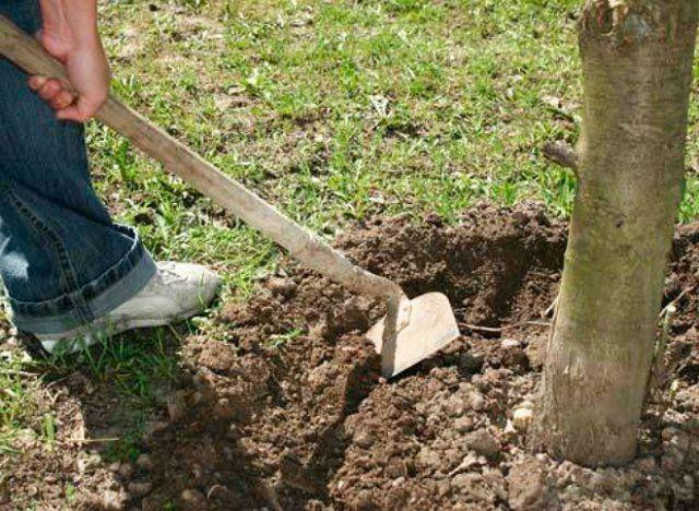 уход за вишней осенью обработка почвы