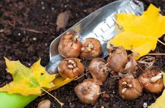 луковицы растений осенью