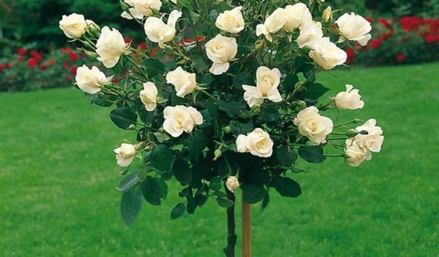 цветущая штамбовая роза