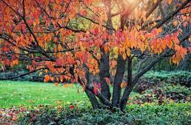 сливовое дерево осенью