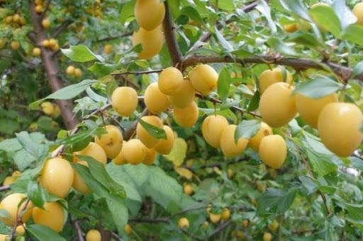 урожай на сливовом дереве