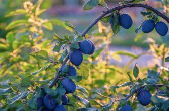 урожай слив на дереве