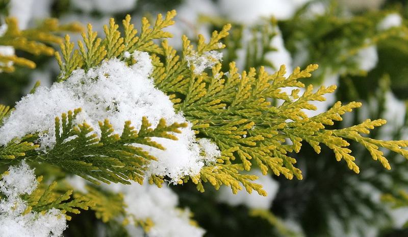 туя покрытая снегом