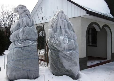 туи укрытые на зиму