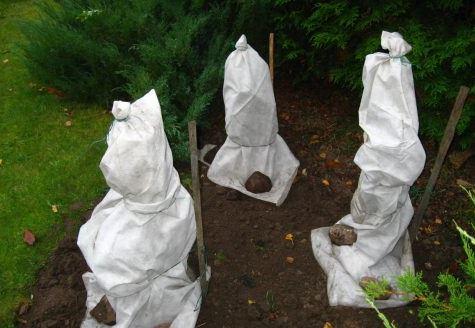 уход за жасмином осенью и его укрытие