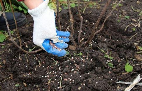процесс внесения удобрений под куст жасмина