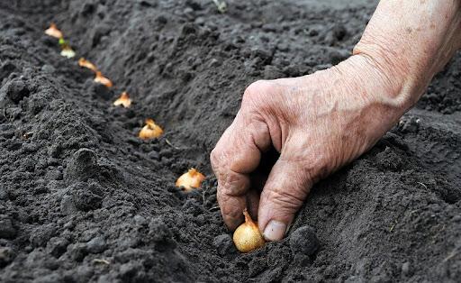 высаживание лука в землю