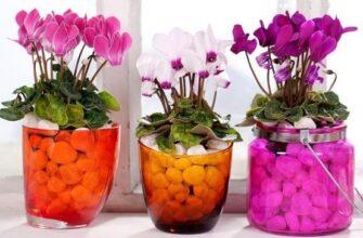 цветущие цикламены в горшках