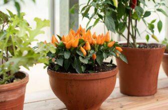 цветок капсикум уход в домашних условиях