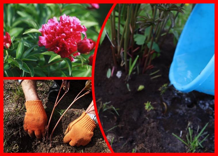 как ухаживать за пионами после цветения и виды работ