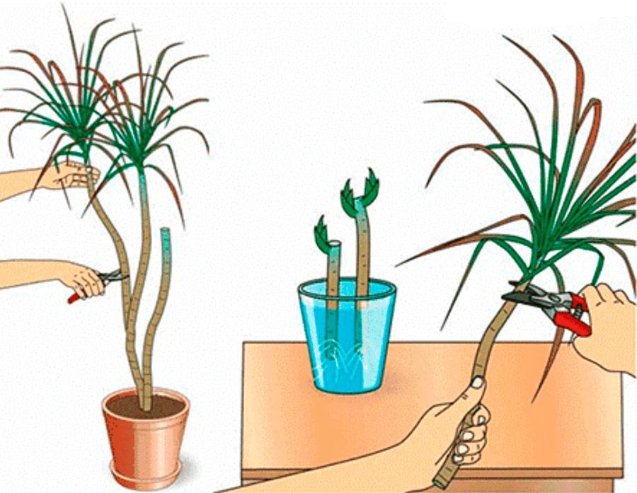 уход за драценой зимой и размножение растения